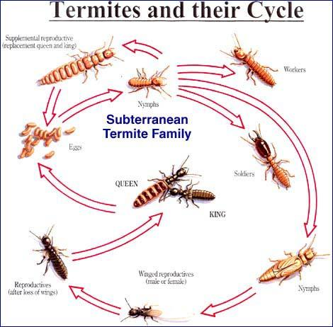 Subterranean Termites Build Colonies In The Soil, Whereas Drywood Termites  Can Be Found In The Framing, Furniture And Hardwood Flooring Of Homes.